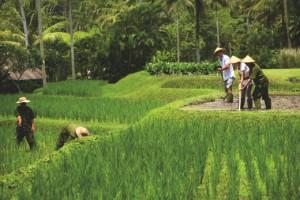 Balinese Farmer Experience 1