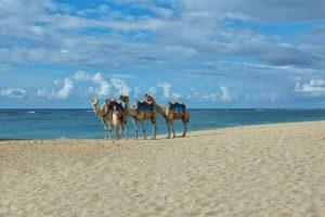 camel-on-the-beach